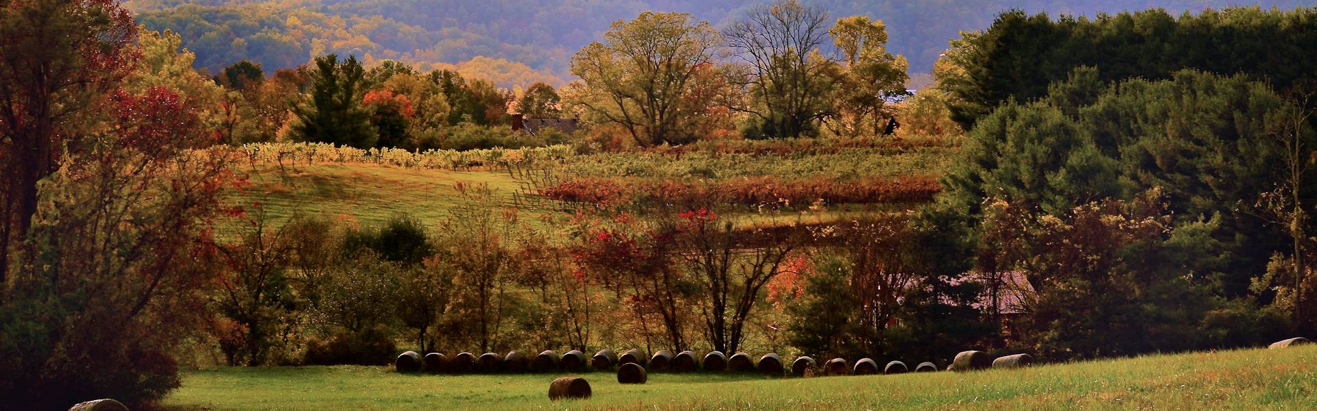 hay bales vineyard